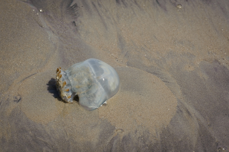 Panama jellyfish